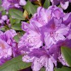 Rhododendron 05
