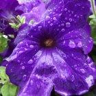Petunie după ploaie