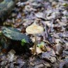 Ciupercă delicată