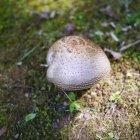 Ciuperca grasă
