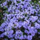 Rhododendron mov