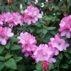 Rhododendron roz