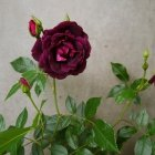 Trandafir 01