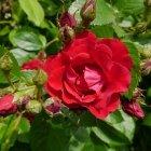 Trandafir 02