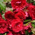 Trandafir 08