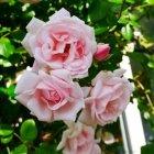 Trandafir 03