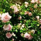 Trandafir 09
