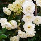 Trandafir 10