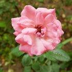 Trandafir 12