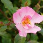 Trandafir 05