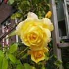 Trandafir 06