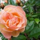 Trandafir 15