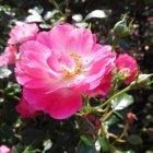 Trandafir 16