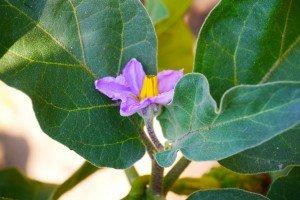 Floare de vânătă