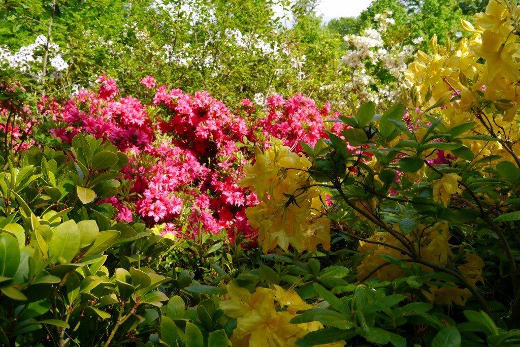 Rododendron galben și roz