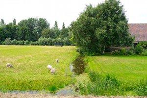 Oi păscând în Ouderkerk