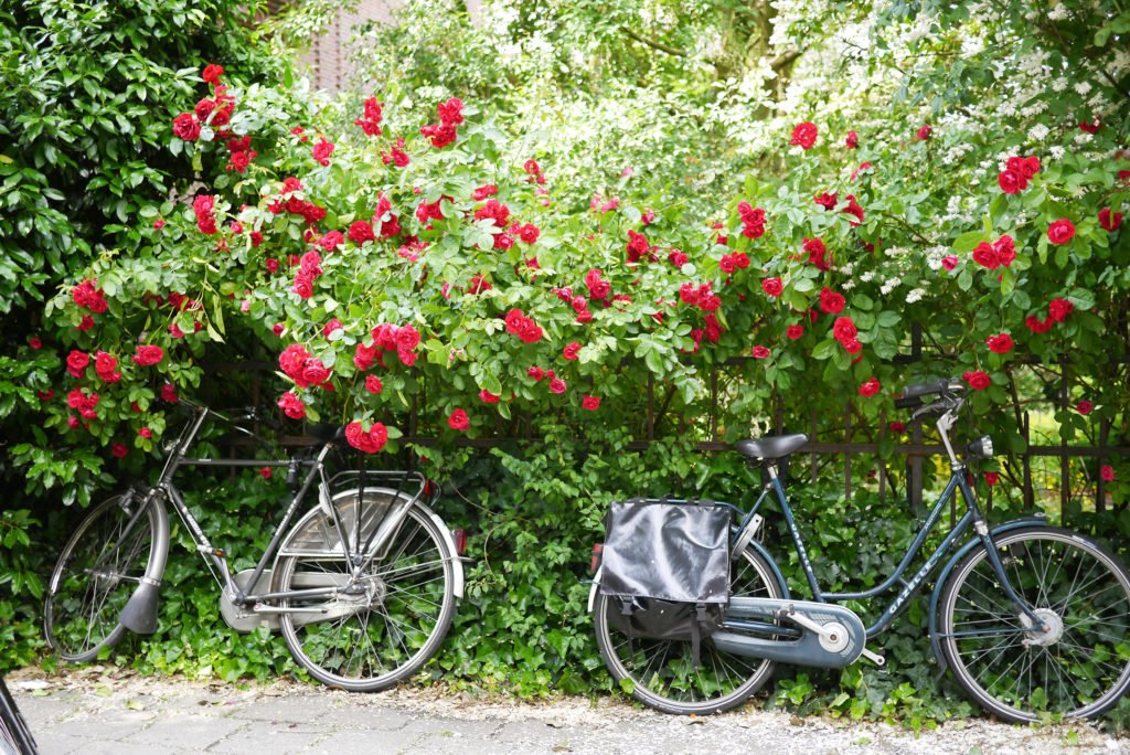 Bicilete si trandafiri