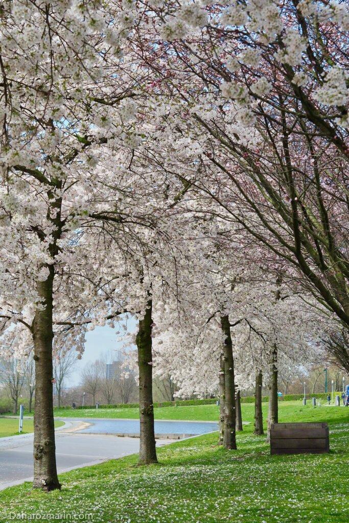 Cireși înfloriți Westerpark 04