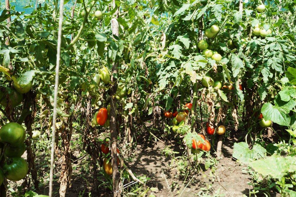 Roșiile din grădină