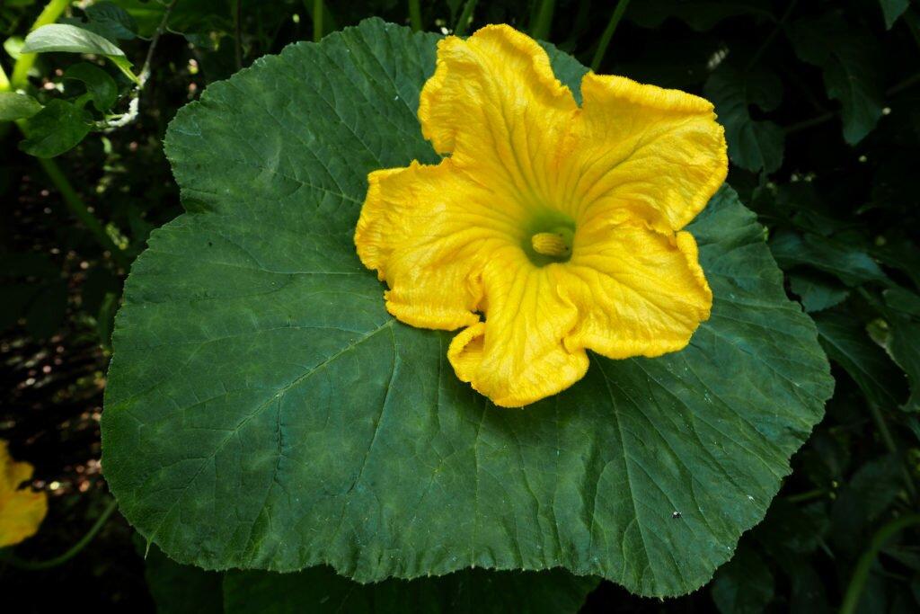 Floare de dovleac