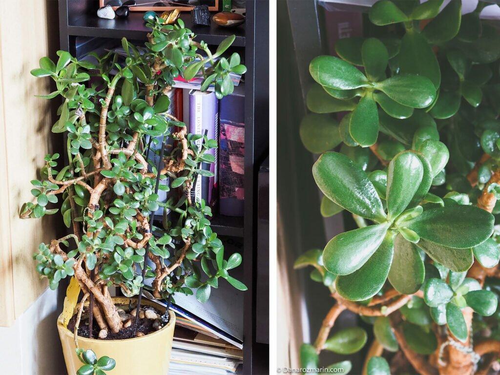 Arbore de jad