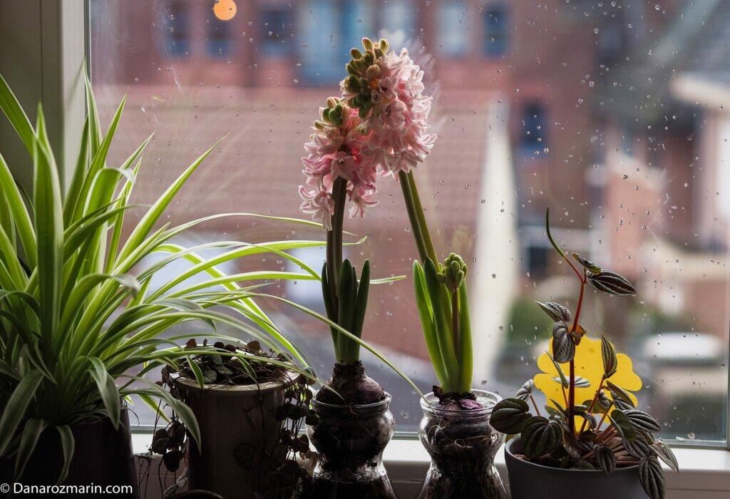 flori la geam