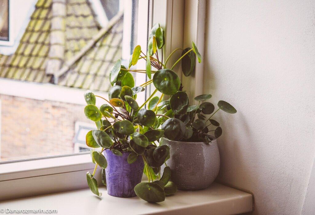 Planta plăcintă