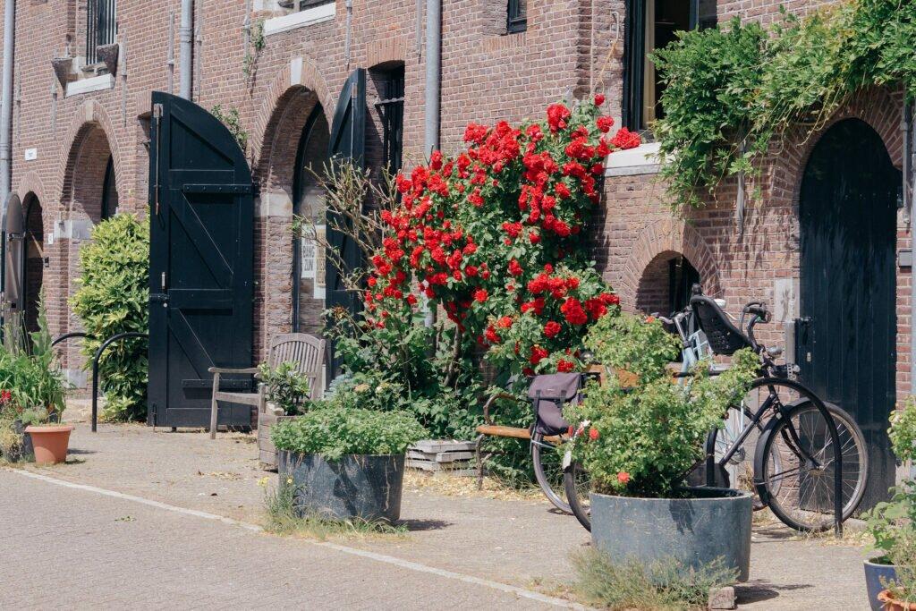 Trandafiri in Amsterdam