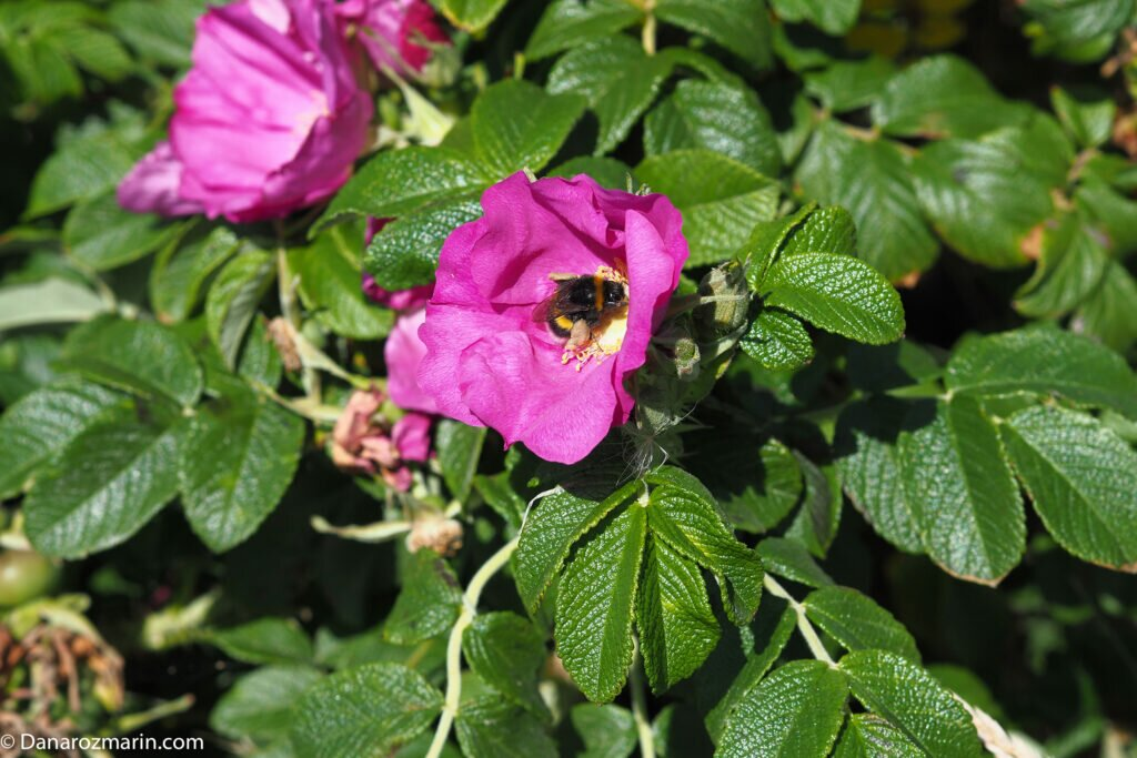 Trandafiri sălbatici roz