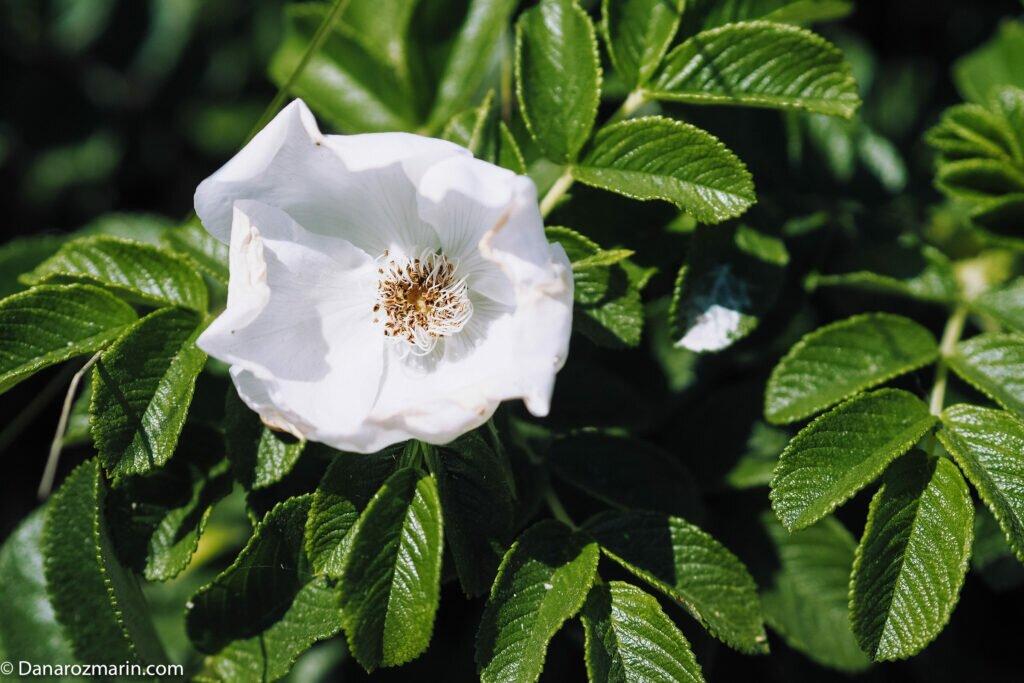 Trandafiri sălbatici albi