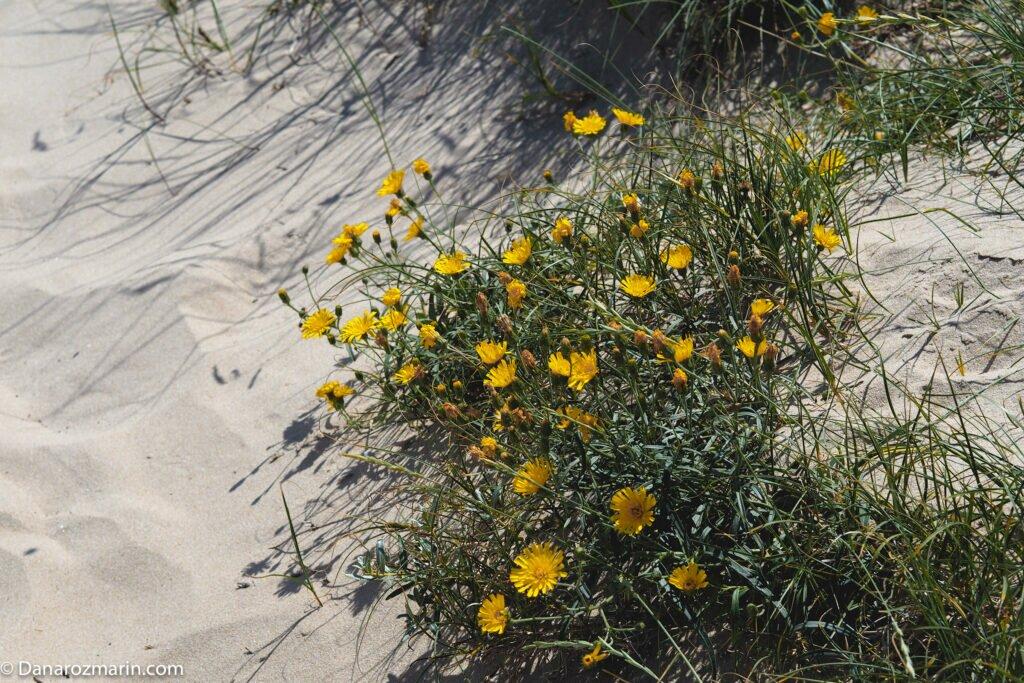 Flori de dune 05