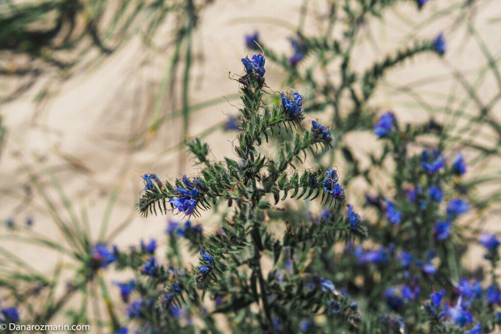 Flori de dune 01