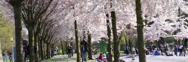 O duminică sub cireșii înfloriți